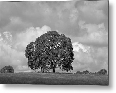 Oak Tree On Hill Metal Print