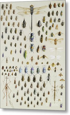 One Hundred And Fifty Insects, Dominated At The Top By A Large Dragonfly Metal Print