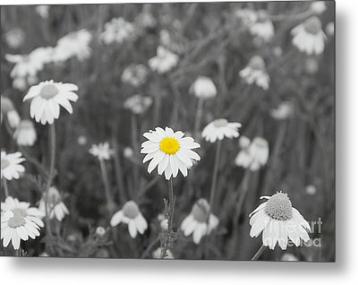 Metal Print featuring the photograph Oopsy Daisy by Benanne Stiens