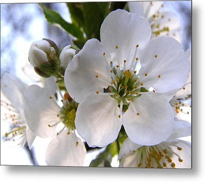 Metal Print featuring the photograph Opening Act -  Cherry Blossoms by Angie Rea