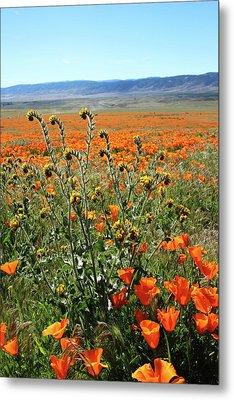 Orange Poppies And Fiddleneck- Art By Linda Woods Metal Print by Linda Woods