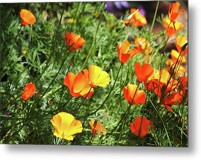 Orange Poppy Flowers . R1269 Metal Print by Wingsdomain Art and Photography