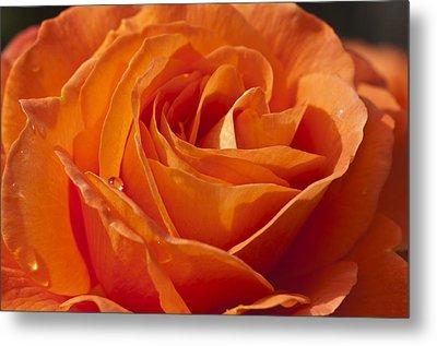 Orange Rose 2 Metal Print by Steve Purnell