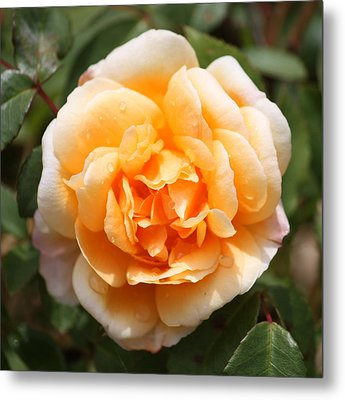 Orange Rose Square Metal Print by Carol Groenen