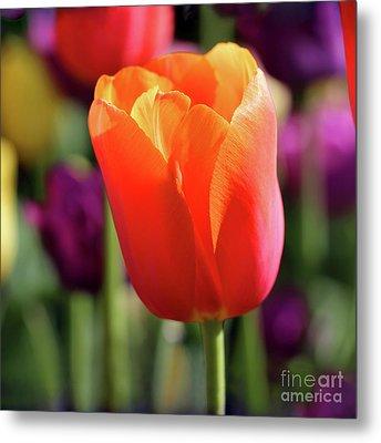 Orange Tulip Square Metal Print