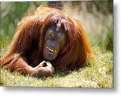 Orangutan In The Grass Metal Print by Garry Gay