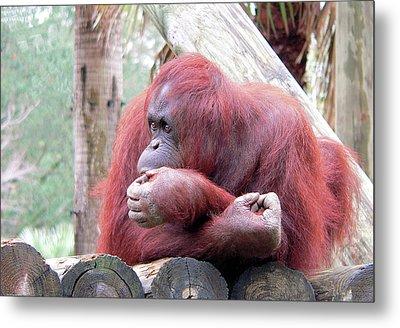 Orangutang Contemplating Metal Print by Rosalie Scanlon