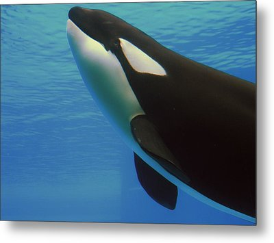 Metal Print featuring the photograph Orca by Meagan  Visser