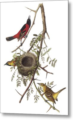Orchard Oriole Metal Print by John James Audubon