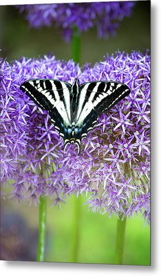 Metal Print featuring the photograph Oregon Swallowtail by Bonnie Bruno
