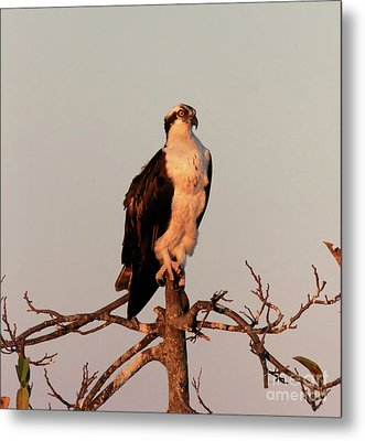 Osprey On The Caloosahatchee River In Florida Metal Print by Louise Heusinkveld