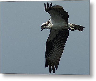 Osprey Metal Print by Ron Read