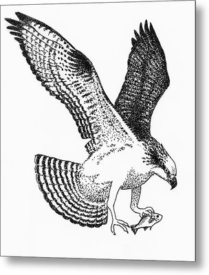 Osprey With White Perch Metal Print by Edith Thompson