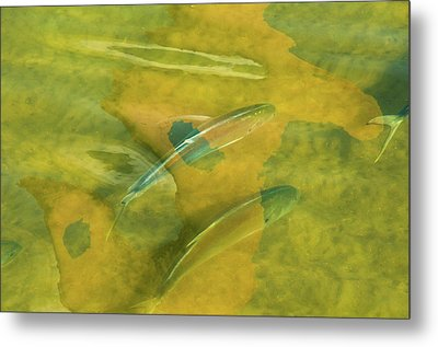 Painterly Fish Metal Print by Carolyn Dalessandro