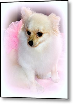 Pampered Pomeranian  Metal Print by Kathy  White