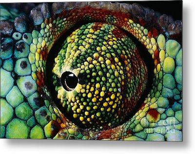 Panther Chameleon Eye Metal Print by Daniel Heuclin and Photo Researchers