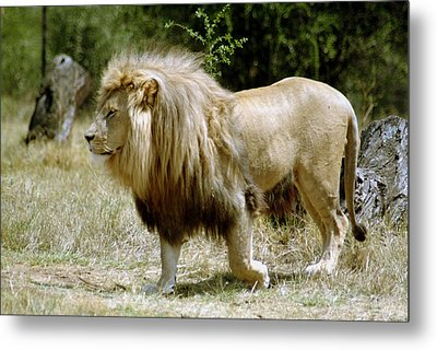 Papa Lion On The Prowl Metal Print by Charles  Ridgway