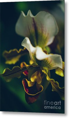 Metal Print featuring the photograph Paphiopedilum Villosum Orchid Lady Slipper by Sharon Mau