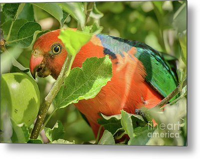 Metal Print featuring the photograph  Parrot In Apple Tree by Werner Padarin