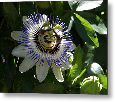 Passion Flower Photo Metal Print by Judy Mercer