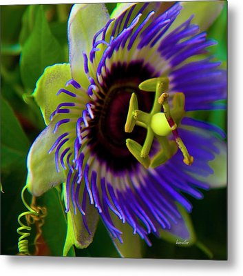 Passion-fruit Flower Metal Print by Betsy Knapp