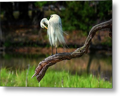 Passionate About Preening Metal Print by Donnie Smith