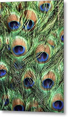 Peacock Feathers Metal Print by John Foxx