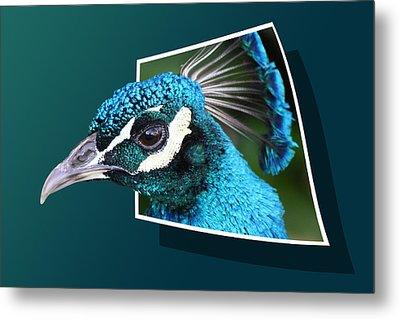 Peacock Metal Print by Shane Bechler