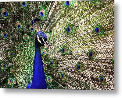 Metal Print featuring the photograph Peacock by Stefan Nielsen