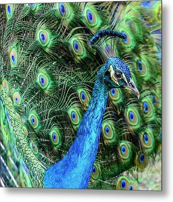 Metal Print featuring the photograph Peacock by Steven Sparks