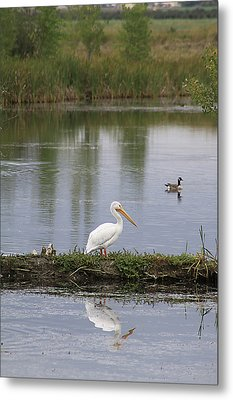 Metal Print featuring the photograph Pelican Reflection by Alyce Taylor