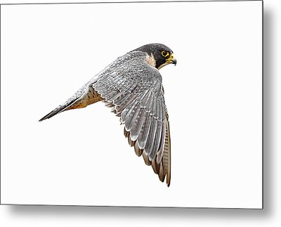 Peregrine Falcon Bird Metal Print