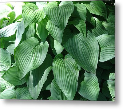 Perfect Hosta Metal Print by Rod Ismay