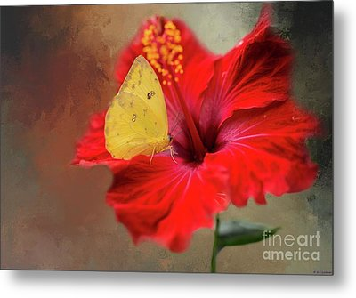 Phoebis Philea On A Hibiscus Metal Print