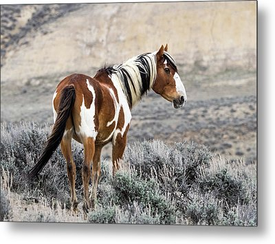 Picasso - Wild Mustang Stallion Of Sand Wash Basin Metal Print by Nadja Rider