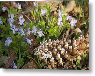Pine Cone And Spring Phlox Metal Print by Michael Peychich