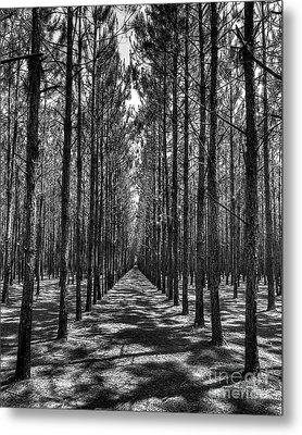 Pine Plantation 5655_6_7 Metal Print