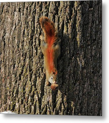 Piney Squirrel Metal Print by David Arment
