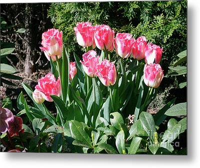 Pink And White Fringed Tulips Metal Print by Louise Heusinkveld
