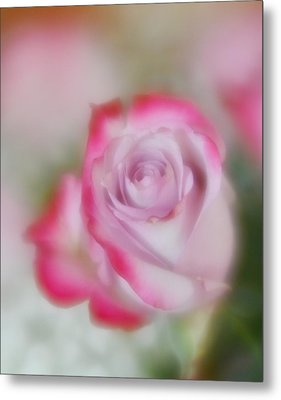 Metal Print featuring the photograph Pink And White Rose  by Diane Alexander