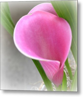 Pink Calla Lily Metal Print by P S