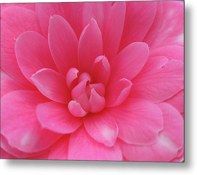 Pink Camellia Metal Print by Juergen Roth