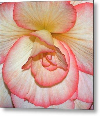 Pink-edged Begonia Metal Print