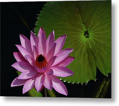 Pink Lotus Metal Print by Evelyn Tambour