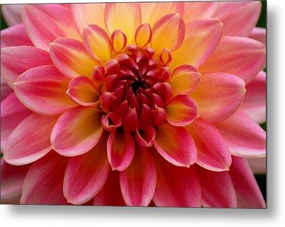 Pink Petals Metal Print by Sonja Anderson