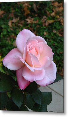 Metal Print featuring the photograph Pink Rose by Carla Parris