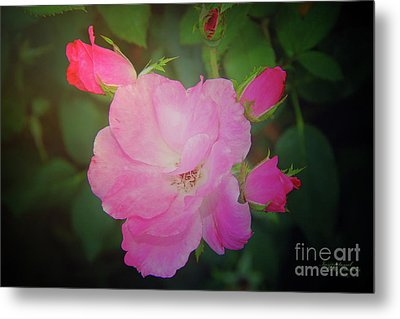 Pink Roses  Metal Print by Inspirational Photo Creations Audrey Woods