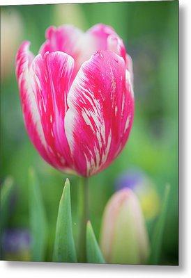 Pink Tulip II Metal Print by Sonja Quintero