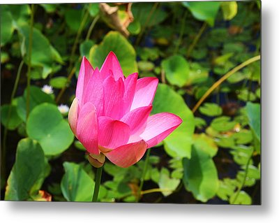 Pink Water Lotus Metal Print by Michael Palmer