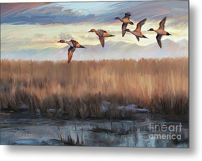 Pintail Fly By Metal Print by Rob Corsetti